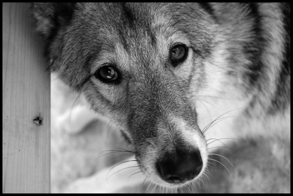 Картинки про волков со смыслом грустные белом море