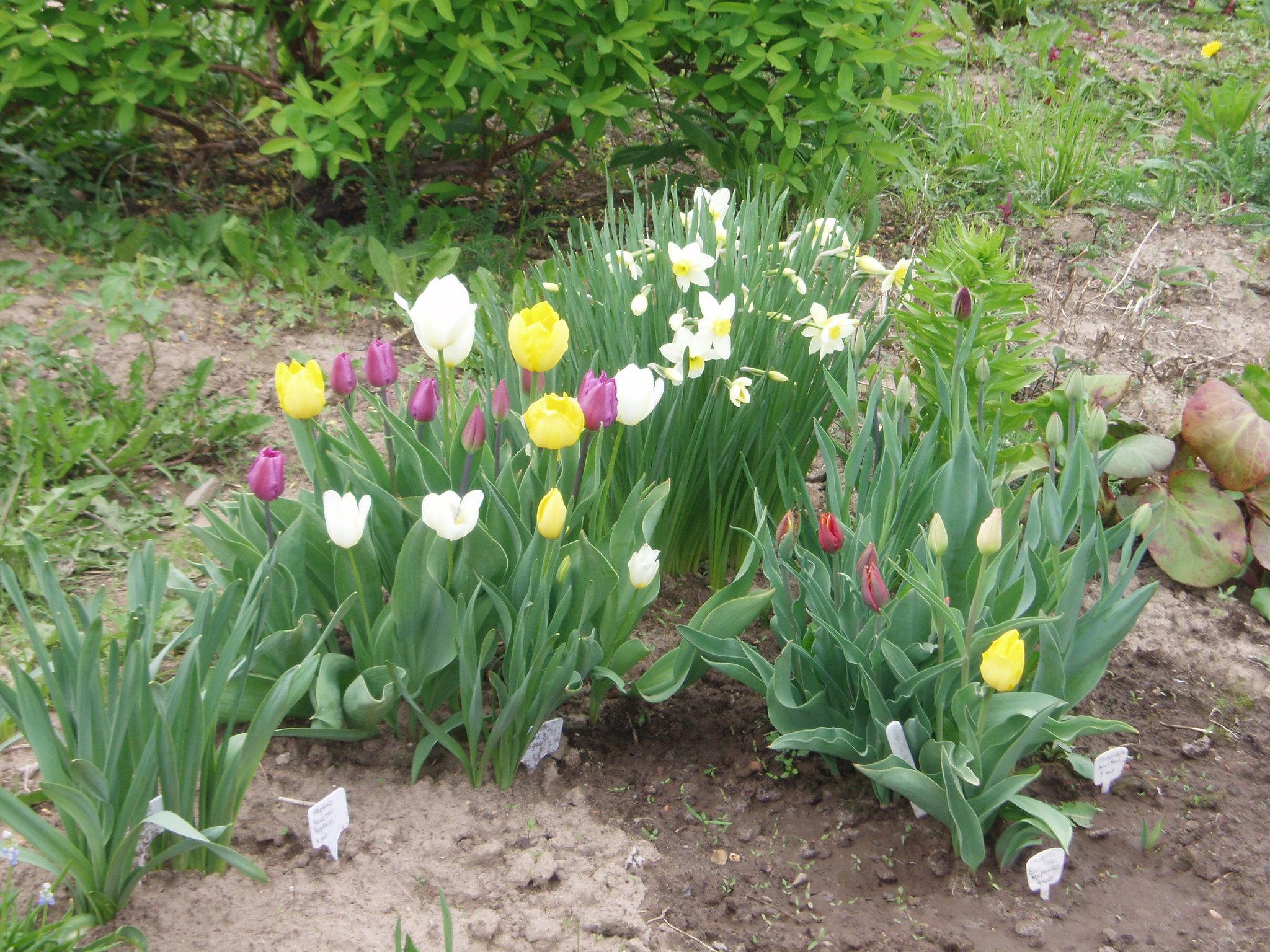 Клумба из тюльпанов своими руками на даче фото 28
