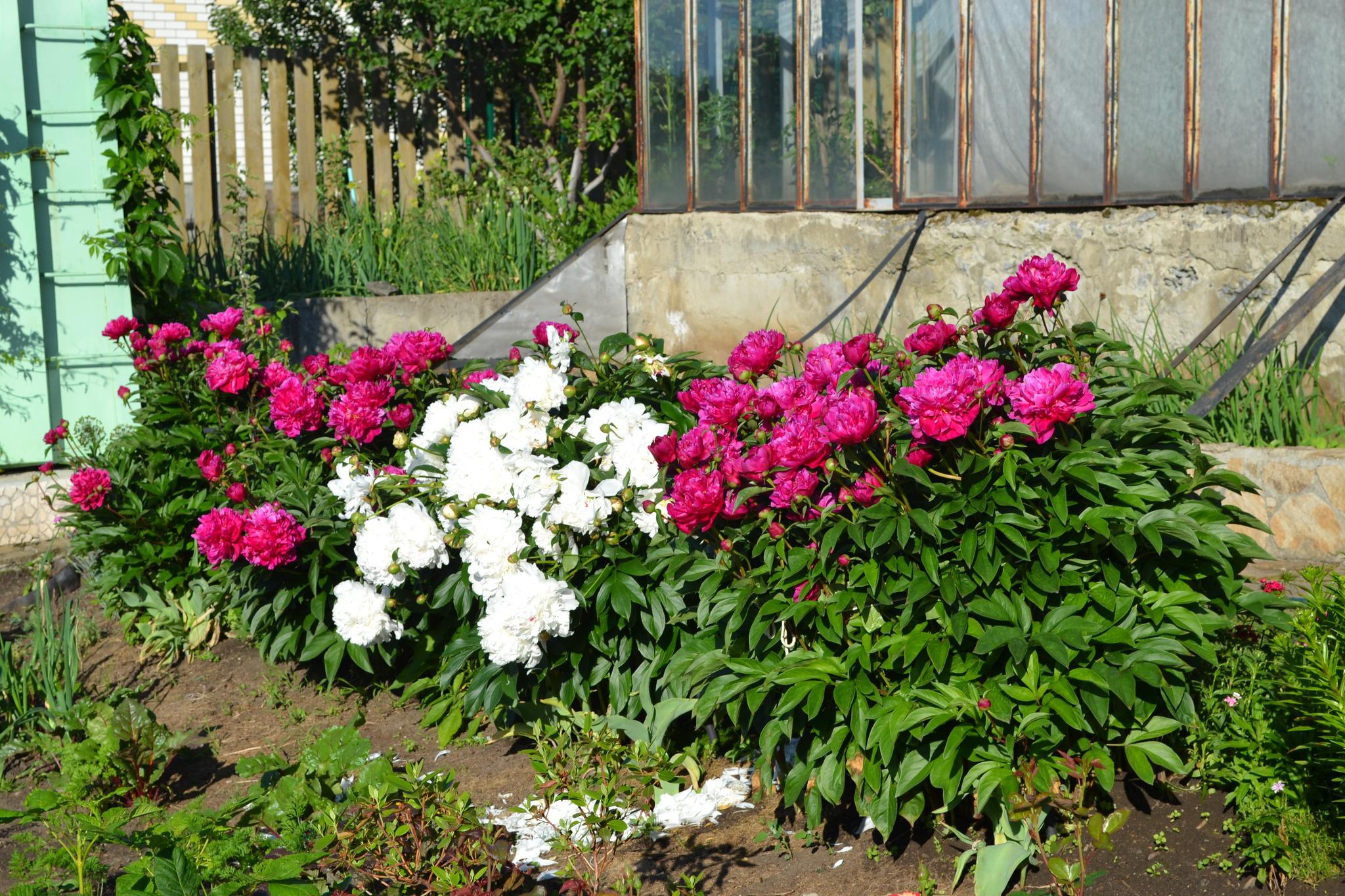 Пионы в сочетании с другими цветами фото