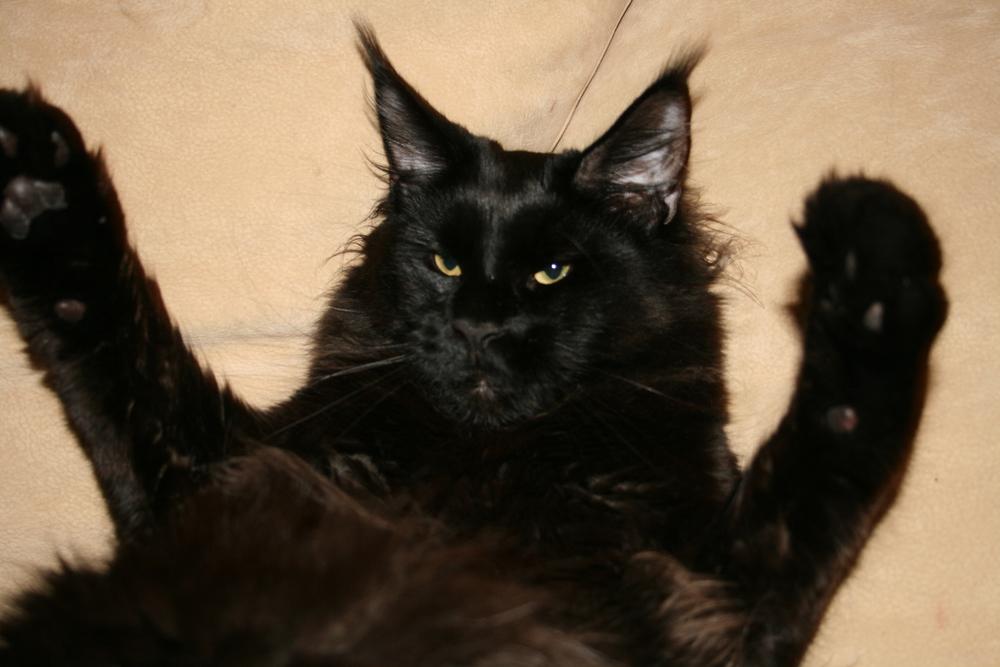 Черные коты больших размеров фото