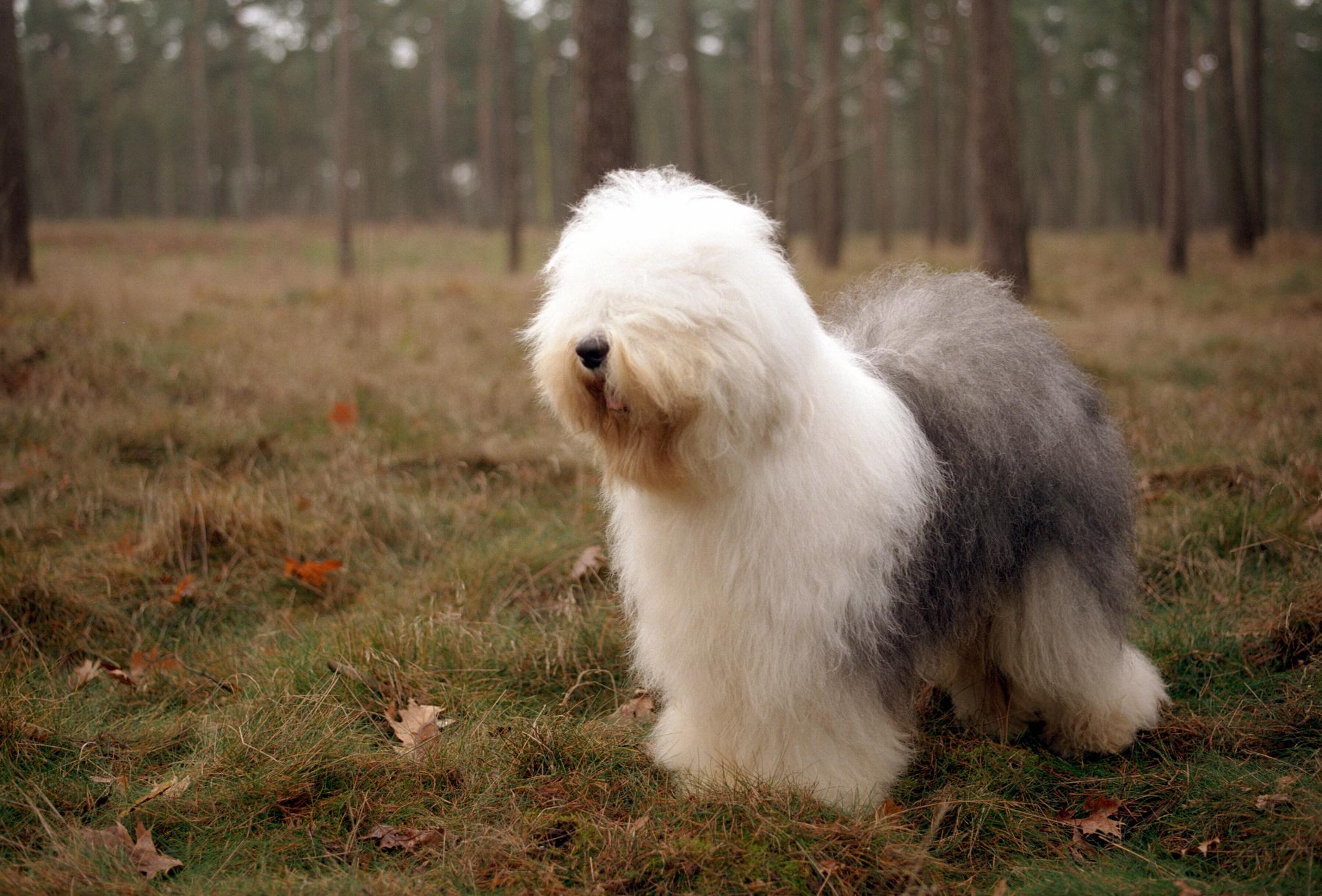 фото собак крупных лохматых пород сожалению, последние