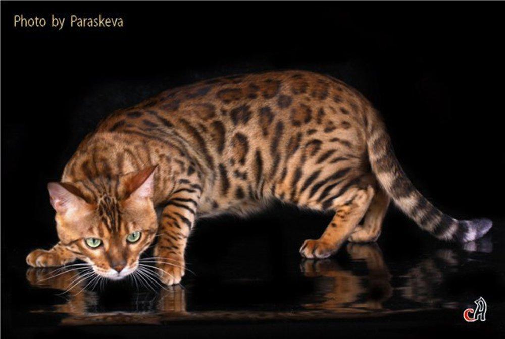 Bengal cat colors change