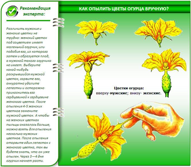 Мужские и женские цветки огурца