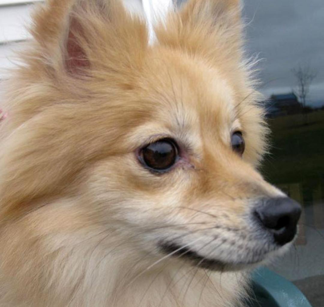 картинки собак похожих на лисичек может