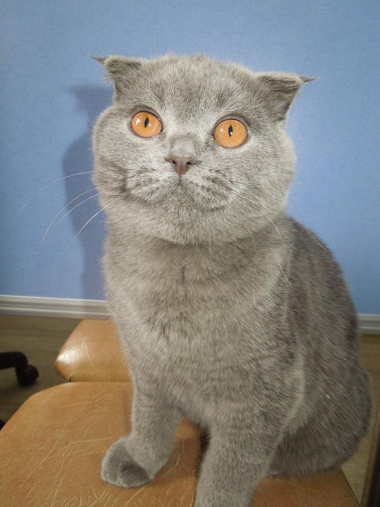 Кот шотландец похудел