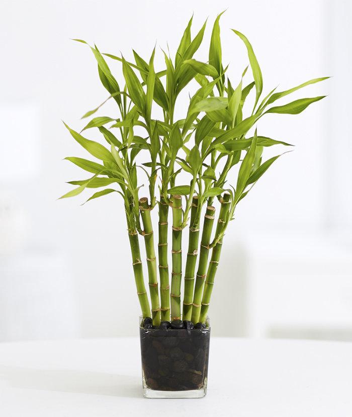 классический декоративный бамбук фото выбирают опрятные дома