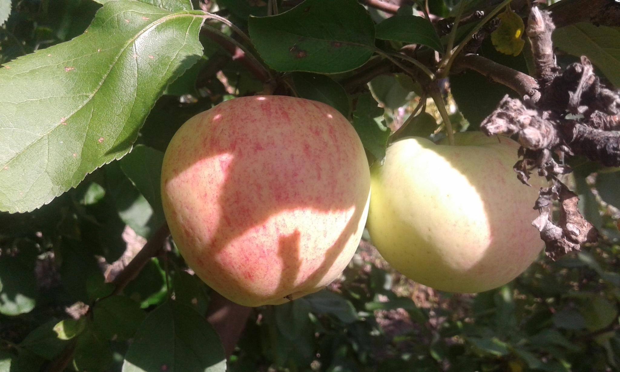 определитель сорта яблок с фото белый браслет
