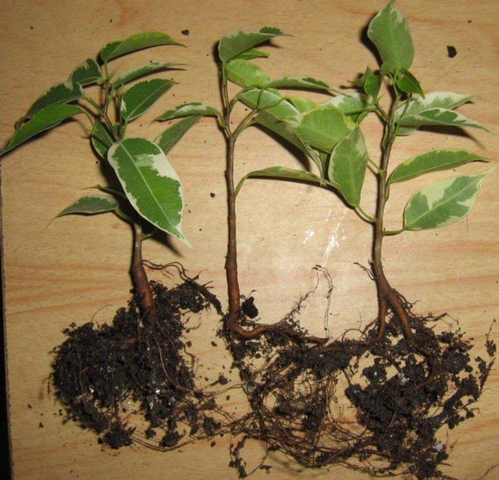 картинка фикуса с корнями специалисты советуют содержать