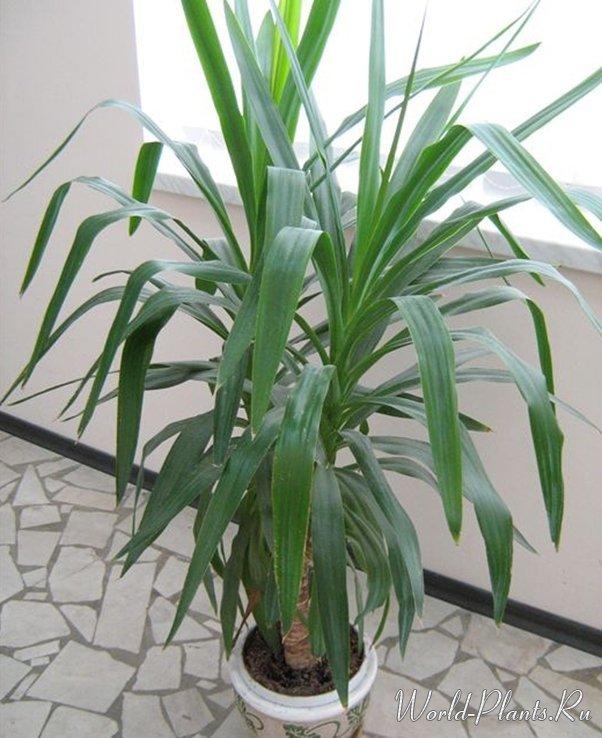 виды пальмы юкка с фото каждым
